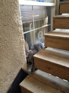 cat trying to get into a window