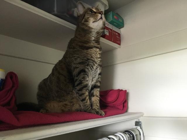 Cat on closet shelf
